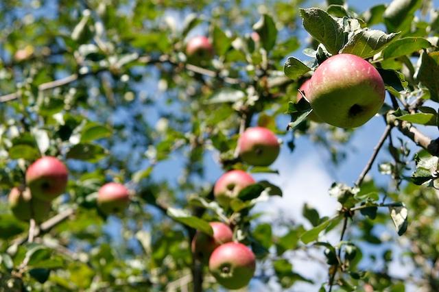 La pomme de comte
