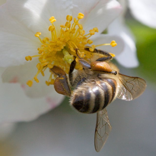 Zone de butinage sur les fleurs de l'églantier1