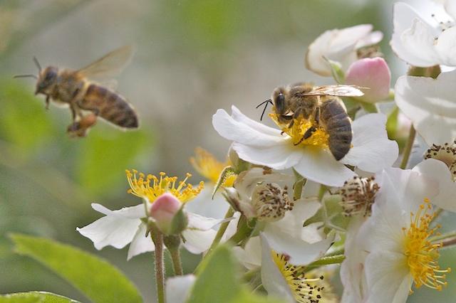 Zone de butinage sur les fleurs de l'églantier2