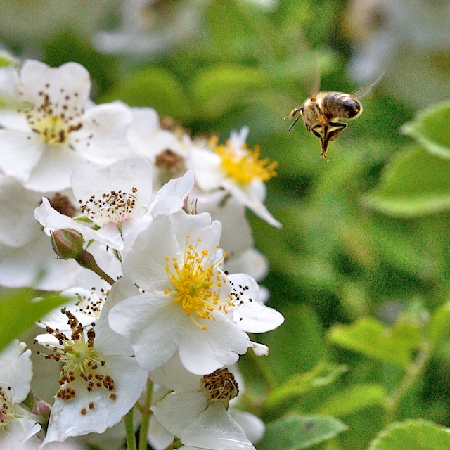 Approche de fleur d'églantier