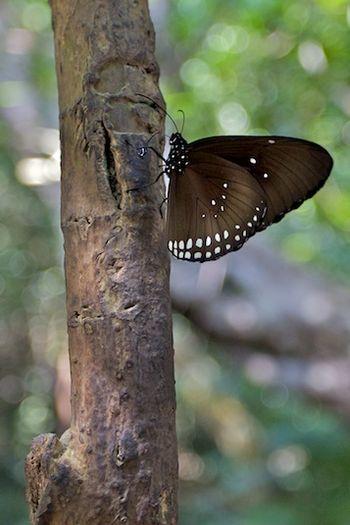 Papillon asiatique