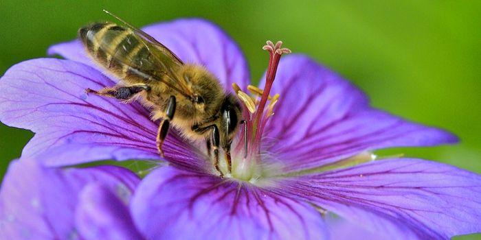 L'abeille et le pélargonium