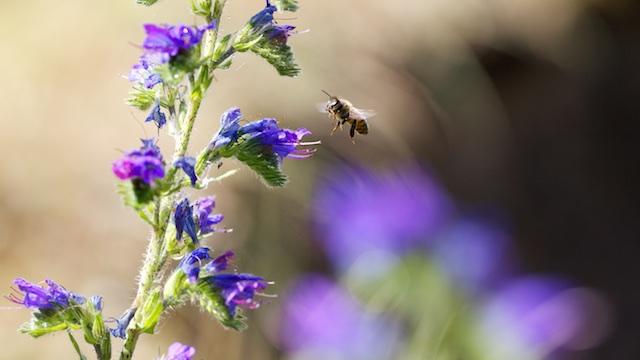 L'abeille vipérine