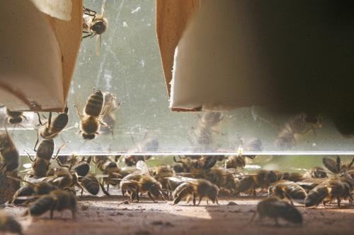 Photo prise de l'intérieur d'une ruche vitrée.